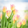 Close Up Of Yellow And Pink Tulips Stock Images - 47464194