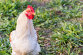 White Rooster Stock Images - 47484774