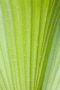 Water Drops On Palmtree Royalty Free Stock Photography - 4758747
