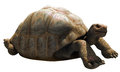 Big Tortoise Royalty Free Stock Photography - 47503597