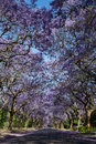 Suburban Road With Line Of Jacaranda Trees And Small Branch With Stock Photography - 47553372
