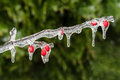 Icing Rain On Plant Branch Royalty Free Stock Images - 47563569