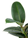 Ficus Leaves Stock Image - 47578981