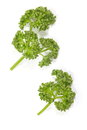 Curly Parsley Royalty Free Stock Photography - 47580657