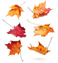 Autumn Maple Leaves Royalty Free Stock Images - 47585459