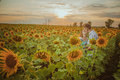 Beautiful Couple Having Fun In Sunflowers Fields Stock Images - 47586944