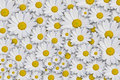 Daisy Background Royalty Free Stock Photography - 4761037