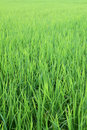 Rice Field From Thailand Stock Photography - 47652382