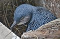 Blue Baby Penguin Stock Image - 47653471