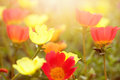 Beautiful Flowers In Various Colours In Early Sunset Royalty Free Stock Photography - 47659087