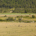 Sheep Grazing In Araucania, Chile Stock Images - 47660054