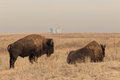 Pair Of Bison Bull Stock Photos - 47668923