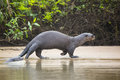 Wild Female Giant Otter Strolling Along Beach By Jungle Royalty Free Stock Photos - 47679308