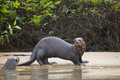 Startled Wild Female Giant Otter And Friend On Beach By Jungle Stock Images - 47679314