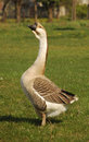 Male Goose Stock Image - 4771421