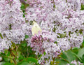 Lilac Stock Photography - 4775952