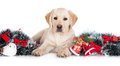 Yellow Labrador Puppy With Christmas Decorations Stock Images - 47745494