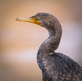 Double Crested Cormorant Profile Royalty Free Stock Photo - 47776005