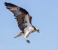 Osprey Hunting In Flight Isolated Against A Blue Sky Royalty Free Stock Images - 47777049