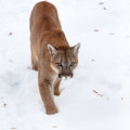 Puma In The Woods, Mountain Lion, Single Cat On Snow Wildlife America Royalty Free Stock Photography - 47785207