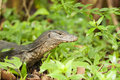 Monitor Lizard Stock Photography - 47790472