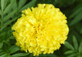 Marigold Flowers Royalty Free Stock Image - 47805056