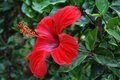 Red Hibiscus Stock Images - 47827494