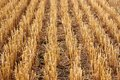 Stubble Harvested Wheat Field Royalty Free Stock Photo - 47870125