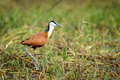 The African Jacana Stock Photos - 47877033