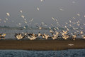 Group Of Pelicans And Other Birds At Nalsarovar Stock Photography - 47906962