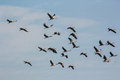 Group Of Common Cranes Blue Sky Flying Grus Grus Royalty Free Stock Image - 47907486