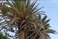 Date Palm Royalty Free Stock Photography - 47922457