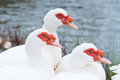 White Muscovy Red Face Thailand. Royalty Free Stock Images - 47932259