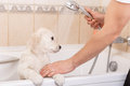 Golden Retriever Puppy In Shower Stock Photos - 47966933