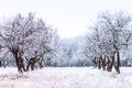 Frosty Apple Tree Garden In Winter Morning Stock Images - 47980884