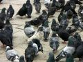 Pigeons Stock Images - 480384