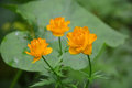 Very Rare Flowers Called Globe-flower Stock Photography - 48006882
