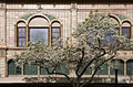 Tree Blossoming In Downtown Napa, California Royalty Free Stock Image - 48014566