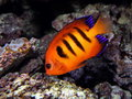 Tropical Fish Royalty Free Stock Images - 48043599