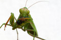 Praying Mantis Royalty Free Stock Photos - 48071888