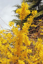 Forsythia Royalty Free Stock Images - 4818399