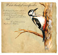 Hand Painted Illustration (vector), Bird: Woodpecker Royalty Free Stock Photos - 48111808