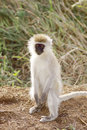 Gray Green Vervet Monkey Stock Image - 48125301