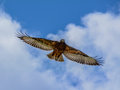 Jackal Buzzard Royalty Free Stock Photo - 48130135