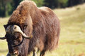 Male Musk Ox Looking Royalty Free Stock Images - 48135709
