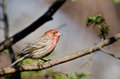 Male House Finch Perched On A Branch Stock Image - 48137841