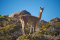 Vicuna On The Altiplano Royalty Free Stock Photos - 48142468
