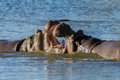 Hippos Fight Wildlife Royalty Free Stock Images - 48149599