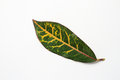 Red Croton Leaf Royalty Free Stock Photos - 48154168