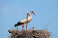 White Storks With  Young Baby Stork On The Nest Stock Photos - 48223383